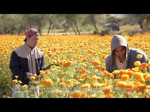 Conoce c�mo se cultiva la flor de cempas�chil