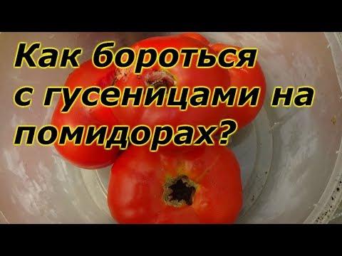 Как бороться с гусеницами на помидорах в теплице