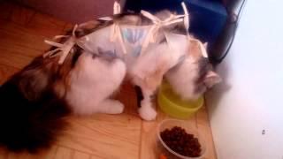 Кошки после стерилизации