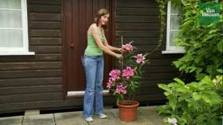 How to grow lilies with Van Meuwen