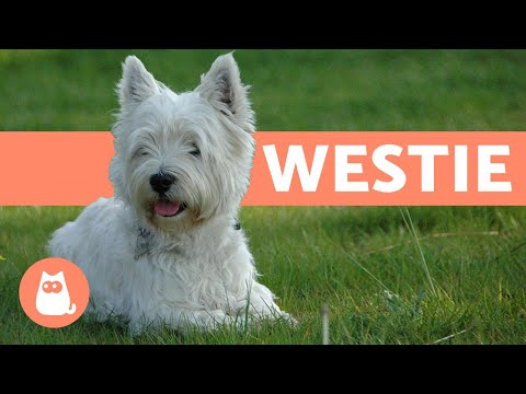 West Highland White Terrier (Westie) - Characteristics and Care