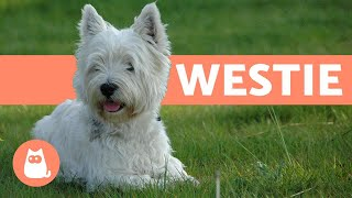West Highland White Terrier (Westie)  Characteristics and Care