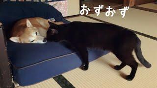 シャイな黒猫の添い寝チャレンジ  The cat wants to share the bed with the dog