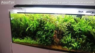Potos: Todo lo que tienes que saber - instalación en el acuario || AquaTips