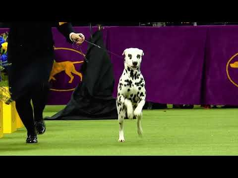 Westminster Dog Show Non-Sporting Group Highlights