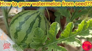 How to grow watermelon from seed??|Layering method|Hand Pollination|தர்பூசணி  வளர்ப்பு