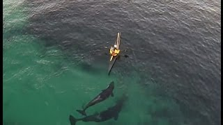 Orcas playing with kayakers