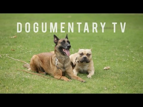 ODD COUPLE BELGIAN MALINOIS AND AM BULLY TRAIN TOGETHER (RE-UP)
