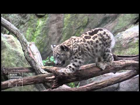 Bronx Zoo Snow Leopard Cubs