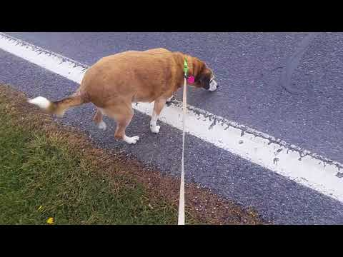 Timmy's first walk--double ACL repair