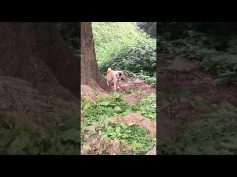 Bakarwal Dog | Bakrwali Dog | Gaddi Dog | Tibetan Mastiff