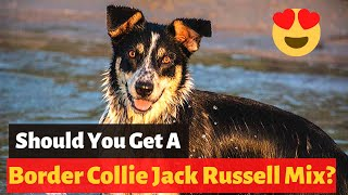 Interesting Facts about The Border Collie Jack Russell Mix (Border Jack)