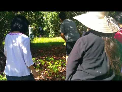 Hmong picking Lychee in Pine Island, FL 7/4/16 (2)