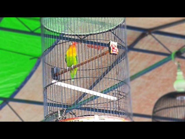 Aksi Love Bird Rambo di LatBer Semparuk Berkicau