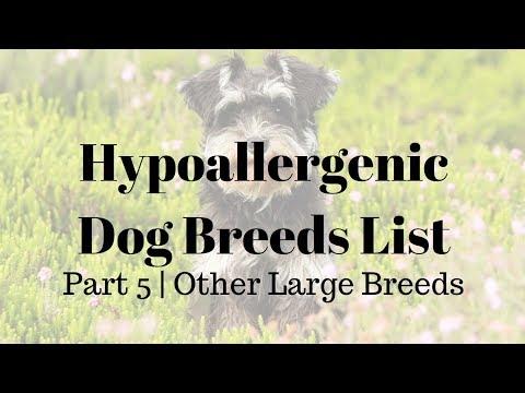 Hypoallergenic Dog Breeds List l Part 5 l Other Large Breeds