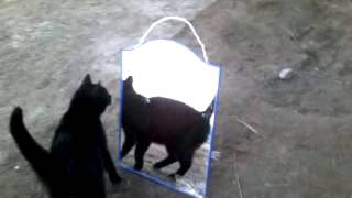 Кошка Масяня и зеркало.