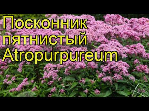 Посконник пятнистый Atropurpureum. Краткий обзор, описание характеристик