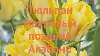 Тюльпан махровый Акэбоно (tulipa tyulpan) ???? Акэбоно обзор: как сажать, луковицы тюльпаны Акэбоно