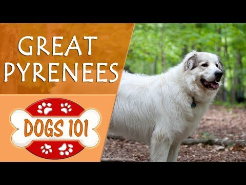 Dogs 101 - GREAT PYRENEES - Top Dog Facts About the GREAT PYRENEES