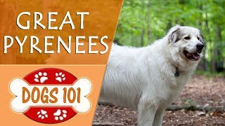 Dogs 101  GREAT PYRENEES  Top Dog Facts About the GREAT PYRENEES