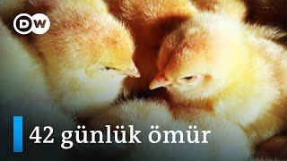 Civcivlerin çilesi: 42 güne sığan hızlı bir yaşam - DW Türkçe