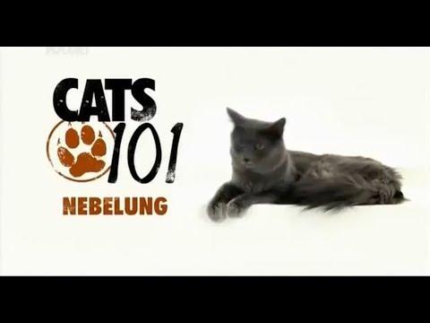 Нибелунг 101kote.ru Nebelung 101cats