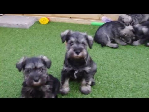 Eye tested Miniature Schnauzer pups for sale