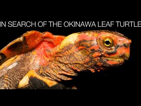 Turtle Conservancy - In Search of the Okinawa Leaf Turtle 2009