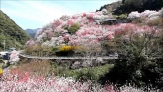 Repeat youtube video 高知県仁淀川町の花桃の里(桃源郷)