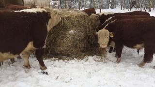 Кормление быков