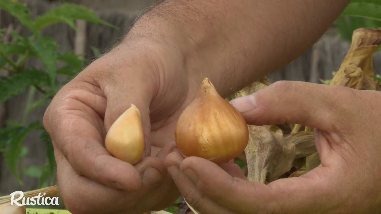 Doit On Deterrer Les Oignons De Tulipes comment conserver les bulbes de tulipes
