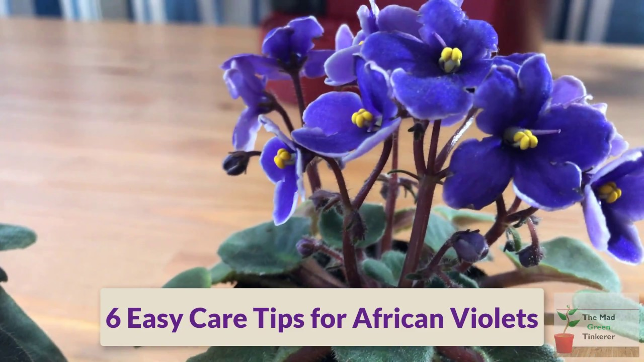 how to take care of african violets