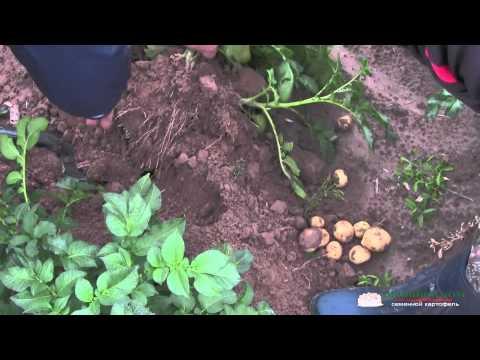 Сбор урожая картофеля в Голландии