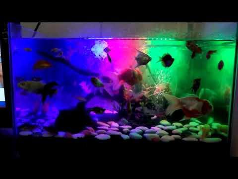 Ikan aquarium tercantik di indonesia