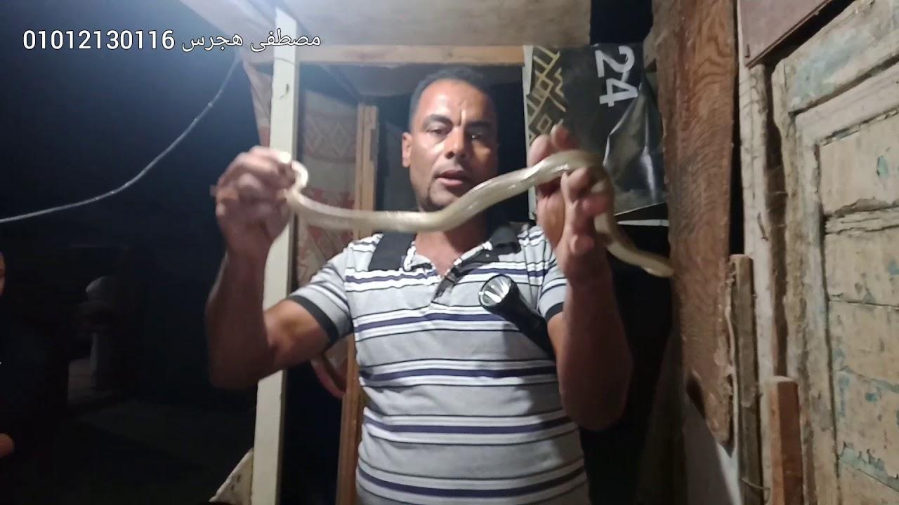 صيد ثعبان جداري من فوق منزل داخل مزرعة حمام مع مصطفى هجرس