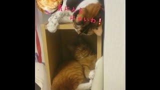 我が家の愛猫りゅう♂&あんず♀とっても仲良しですが・・・ すぐけんかも・・・...
