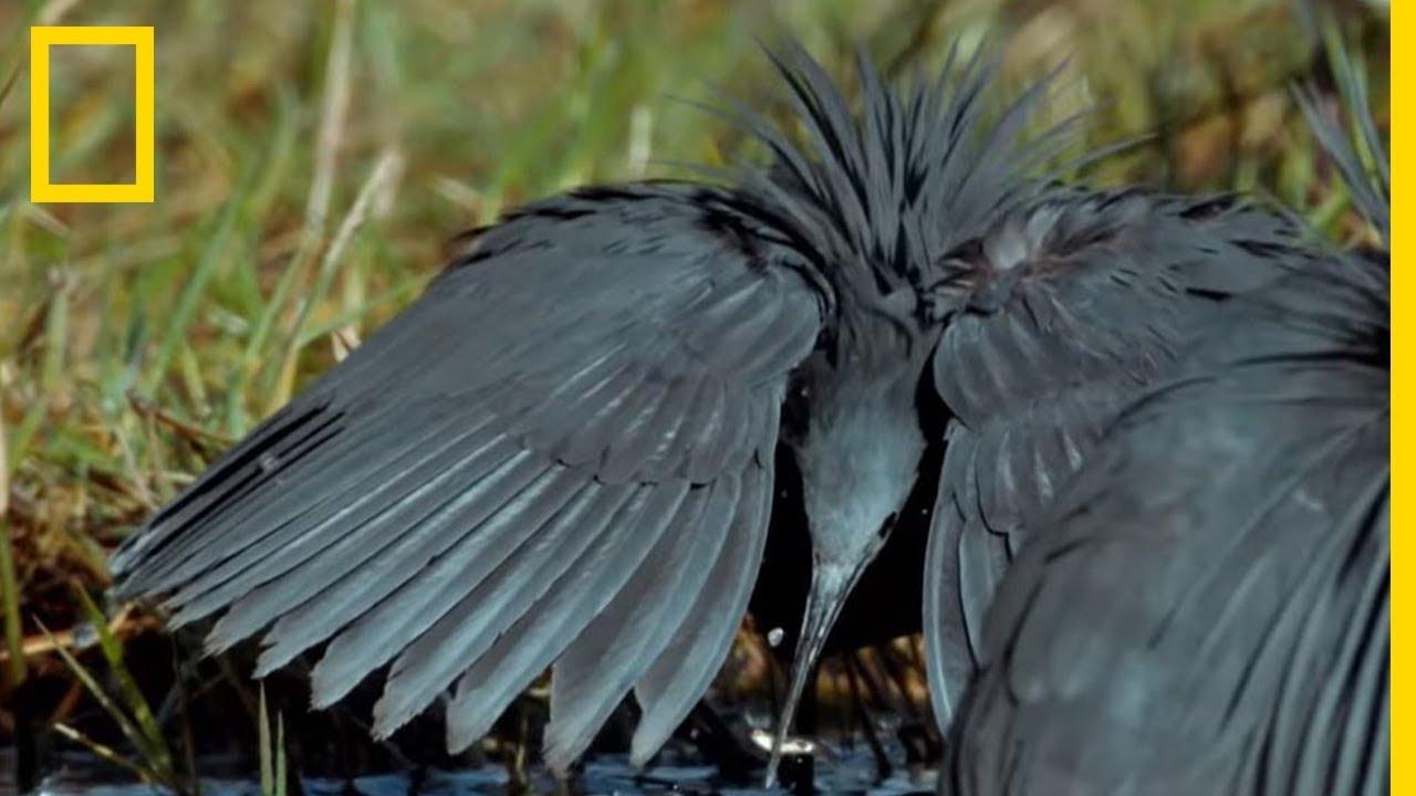 Ces oiseaux imitent le nénuphar pour piéger des poissons