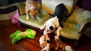 Cute Puppies 😍🐶 Puppies Playing With Parents (Full) [Funny Pets]