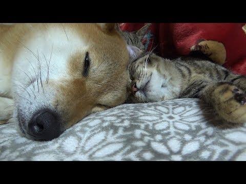 頭と頭をひっつけて犬と猫の癒しビーム❤-- Sleeping Cute Riko And Kitten--