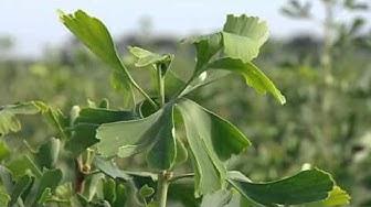 Ginkgo - Baum des Jahrtausends - Dokumentation Odyssee eines Wunderbaums HDTV