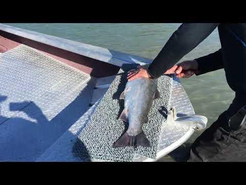 Cleaning Kenai River Coho Salmon