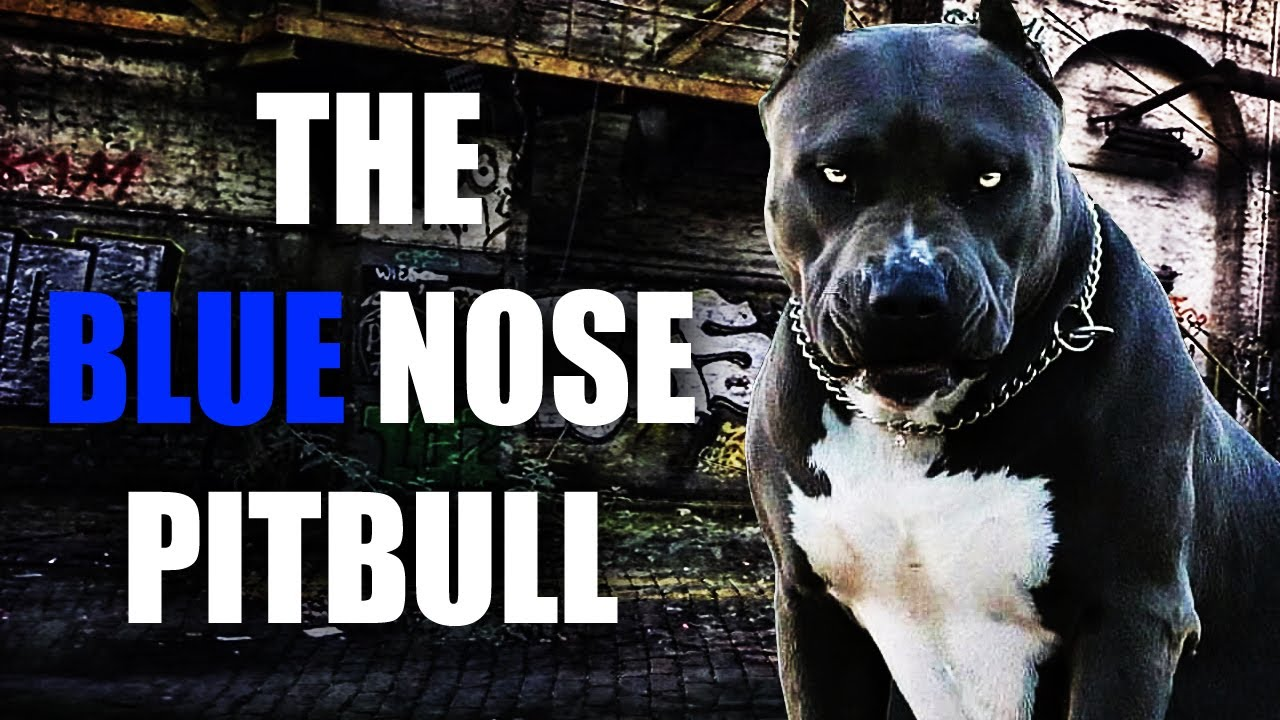 THE BLUE AMERICAN BULLY - ONE OF THE COOLEST LOOKING DOGS ON THE PLANET!!!