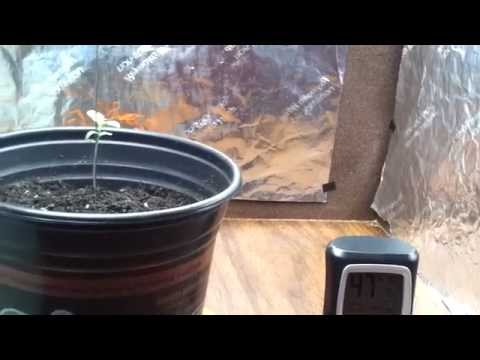 Blueberry yum yum  + growing tips for weed