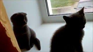 Британские котята. Недорого +79374824181