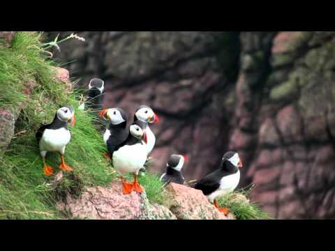 Puffins at Bullers O' Buchan 2012 Part 3
