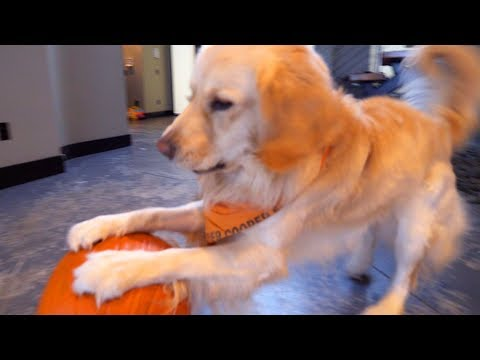 PUPPY PUMPKIN MELTDOWN - Super Cooper Sunday #119
