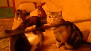 породы кошек экзотическая короткошерстная