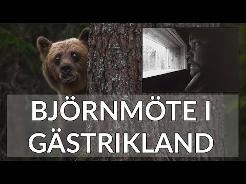 Björnmöte i Gästrikland