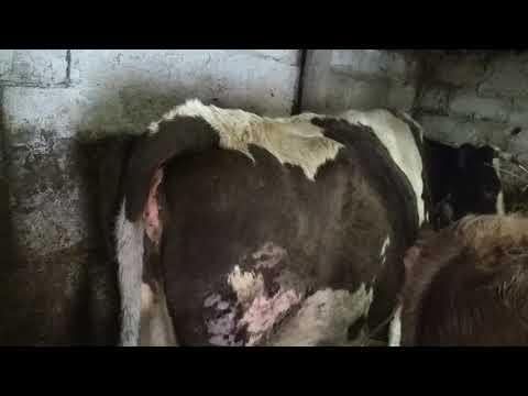 Вопрос: Сколько может перехаживать корова?