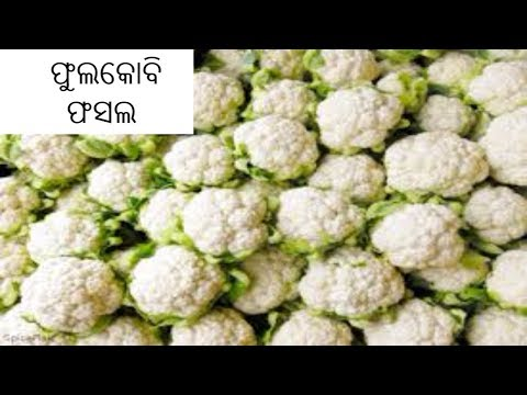 ଅନ୍ନଦାତା | Annadata | Watch How Curly Flower Crops Can Be Grown | ETV News Odia